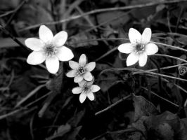 black and white flowers by sweetlittlelulu88