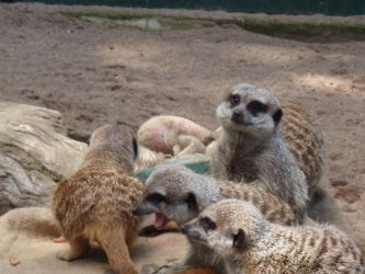 Happy Meerkat Family by jerm27