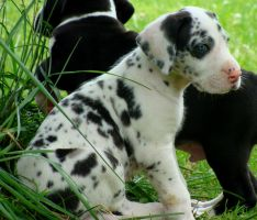 Great Dane Puppy by OhSoJinxed