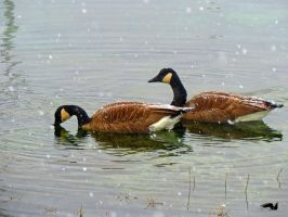 Canadian Geese In Snowy Water by wolfwings1