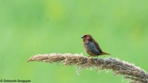 Scaly-breasted Munia by DebasishPhotos