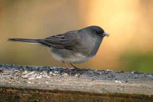 Junco eating seeds by natureguy