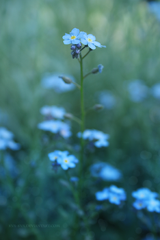Forget-me-not by Kva-Kva