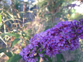 purple Buddleia davidii by InexplicablyIris