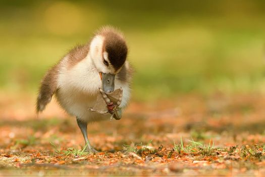 Small Chick Big Feet by thrumyeye