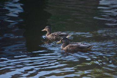 DogWalking - Ducks by chalkwebdesign