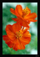 Cosmos by Inadesign