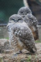 Burrowing Owls by ManitouWolf