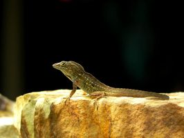 Brown Anole by RedPangolin