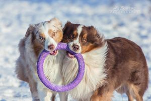 Australian Shepherd dogs by Nightmare-v