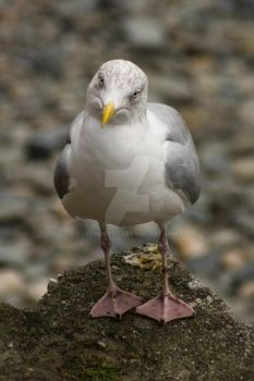Wondering Seagull by liquidmyst