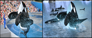 Tilikum :: What Was and What Should Have Been by DrowElfMorwen
