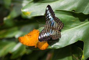 Two Butterflies on Leaf by raveka