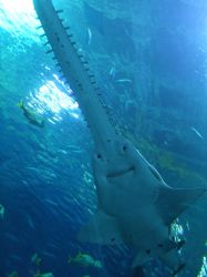 Aquarium: Sawfish Smiling by YaminoKoneko