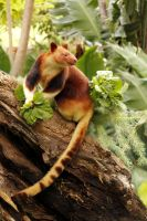 Goodfellows' Tree Kangaroo by SandraChung