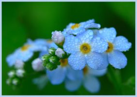 Morning Forget-Me-Not by barcon53