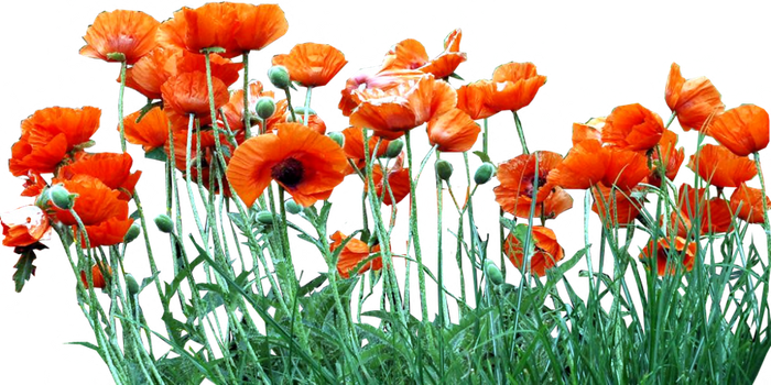 Bed of Orange Poppies by LilipilySpirit
