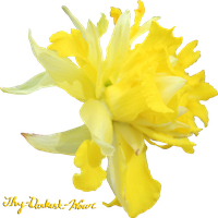 Daffodil PNG 05 by Thy-Darkest-Hour