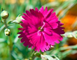 Dianthus Neon Star Hardy Pink No. 1 by slephoto