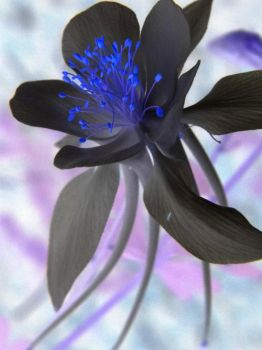 Columbine Black by Synthemum