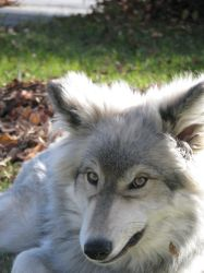 SNARL Diesel our Wolf dog by Swordexpert-Stock