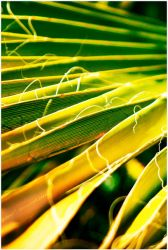 Arecaceae Palm Tree by Givens87