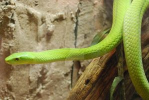 East African Green Mamba 07 by ManitouWolf