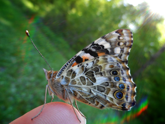 Painted Lady by bunnykissd