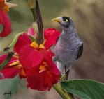 Photo study of a Noisy miner by Tifaeris
