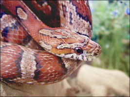 Cornsnake by TalkStock