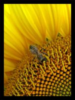 Bee on a sunflower by DrDra