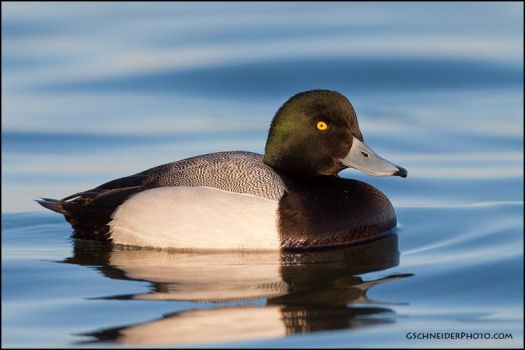 Greater Scaup by gregster09