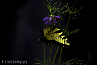 A Eastern Tiger Swallowtail Butterfly by FrozenCreekStudios