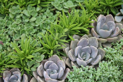 Succulents 4 by ChinookDesigns
