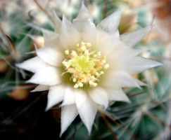 Cactus Flower by maradong