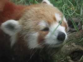 Red Panda by Bebopboy