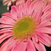 Water drops on pink gerbera by FrancescaDelfino