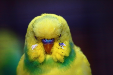 Budgie by TheEmpatheticCat
