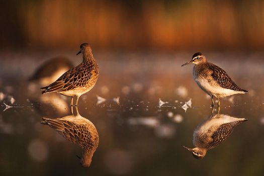 Wood Sandpipers by Dtomi84