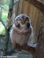 Northern hawk owl by casualGEE