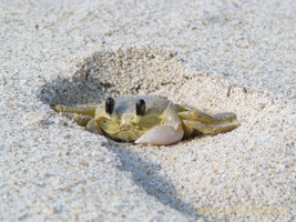 Crab in a Footprint by Astarlen