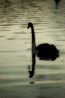 Silhouette Swan #2 by unifx