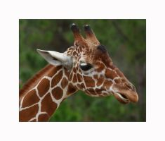 Giraffe Portrait by OpticaLLightspeed