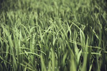 Rice Field by kepeifeng