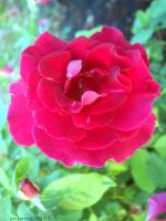 The red-red rose by pueng2311