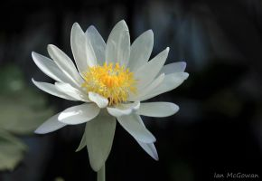White Lotus . by 999999999a