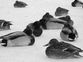 Gathering of the Ducks BW by bloodyban