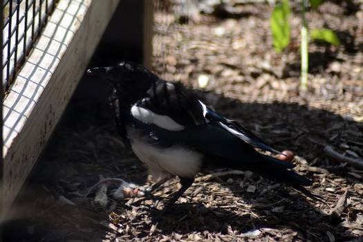 Magpie Eating Stock 1 by Jaded-Night-Stock