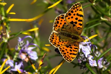 Butterfly Issoria lathonia up flower by VitoDesArts