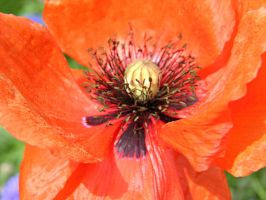 Coquelicot by Luciex27